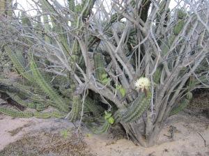 pitayan agria cactus