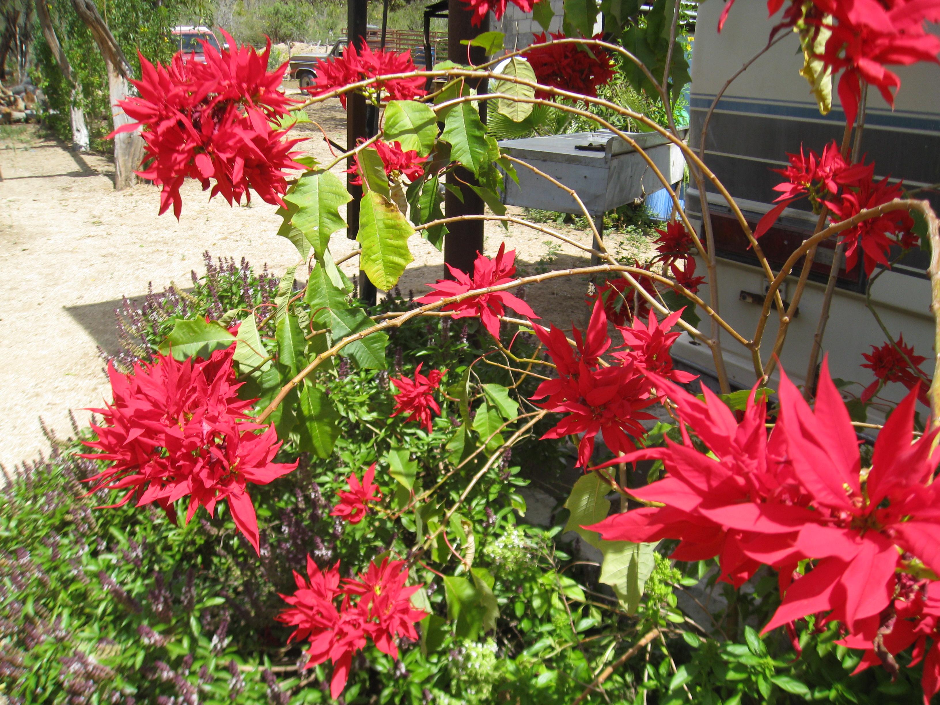 garden design garden design with euphorbia pulcherrima red