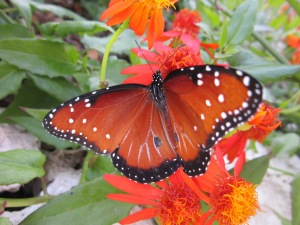 queen butterfly on Mexican flame vine