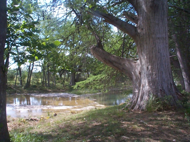 Bald cypress tree along the river at the Fisher Place--in a time of severe drought.