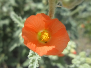 desert globemallow bloom, salt river