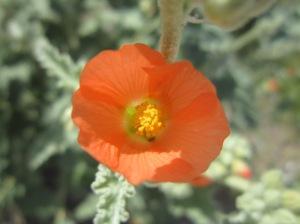 desert globemallow bloom, salt river