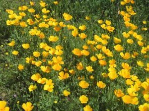McDowell yellow poppies