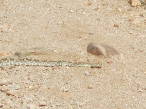 rattlesnake on trail