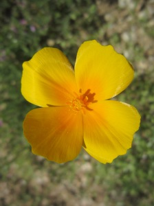 yellow poppy bloom McDowell
