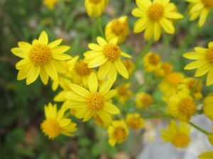 golden groundsel blooms