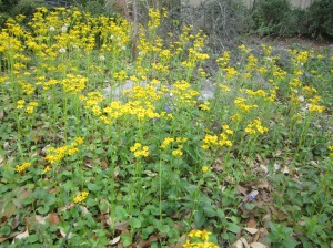 woodland effect golden groundsel