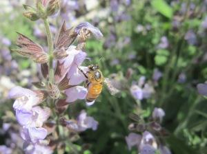 honeybee on sage