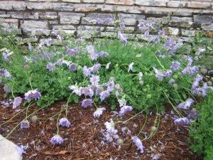 pincushion flowers beaten down by rain--they'll perk up