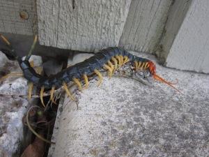 centipede and lizard