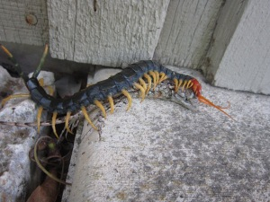centipede and lizard