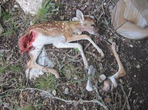 fox-killed white-tail fawn