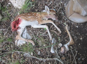 fox-killed white-tail fawn