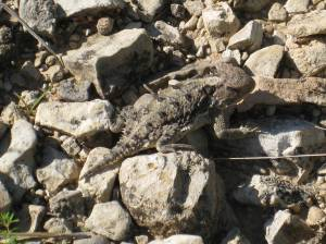 horned toad-001