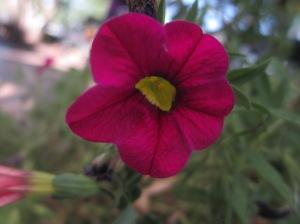 petunia at Freshies, Steamboat