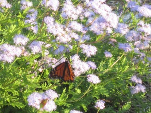 monarch and mistflower