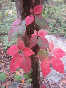 Virginia creeper at Cibolo Nature Center