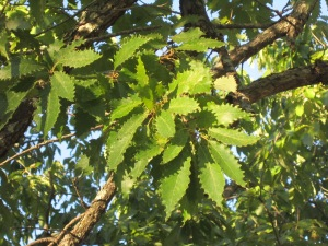 serrated leaves of chinkapin oak