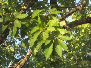 serrated leaves of chinkapin oak