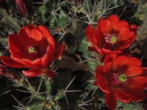 claret cup blooms