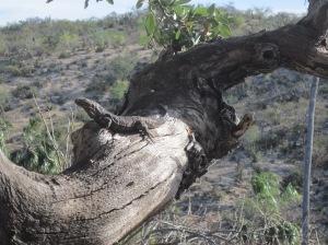 iguana on 500 year old white oak tree, La Huerta